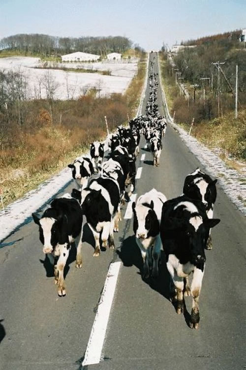 Herd Mentality Of Cows On The Move